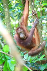 nintei7_boruneo_orangutan_2_R